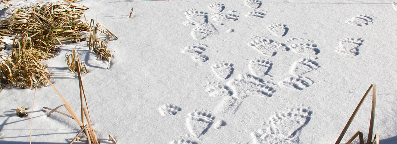 Photo of grizzly tracks in the snow