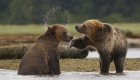 adolescent grizzly bears playing