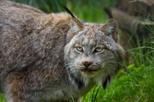 Close-up photo of Canada lynx