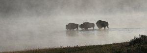 Bison crossing sttream