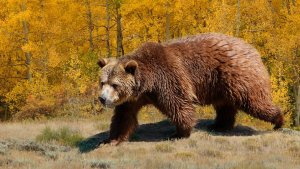 Photo of grizzly bear and aspens in fall color