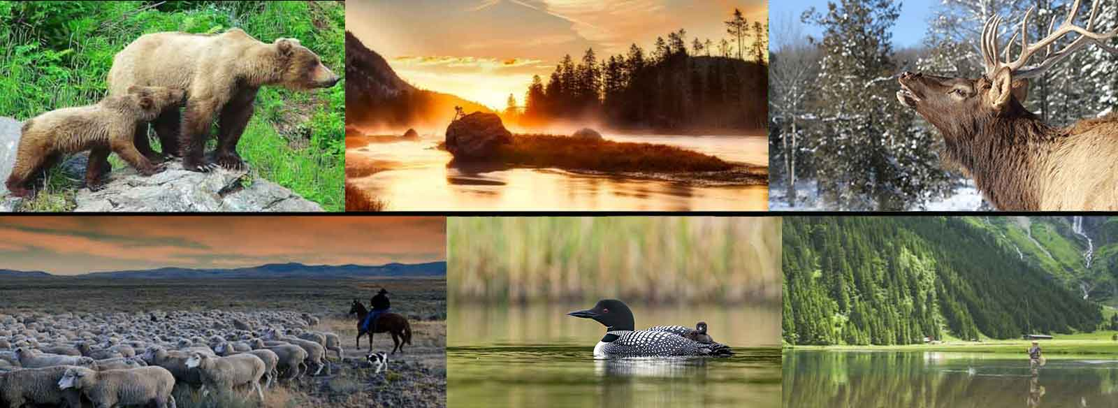 Photo collage of grizzly bears, river at sunset, bull elk, rancher and sheep, common loon, canoeist