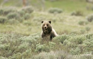 Grizzly bear in sagebrush
