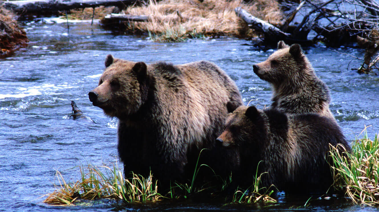 Grizzly bears by Jim Cole