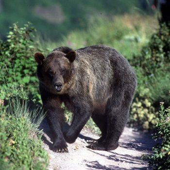 Young Grizzly Crossing Trail