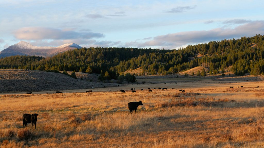 Cattle with mountain background