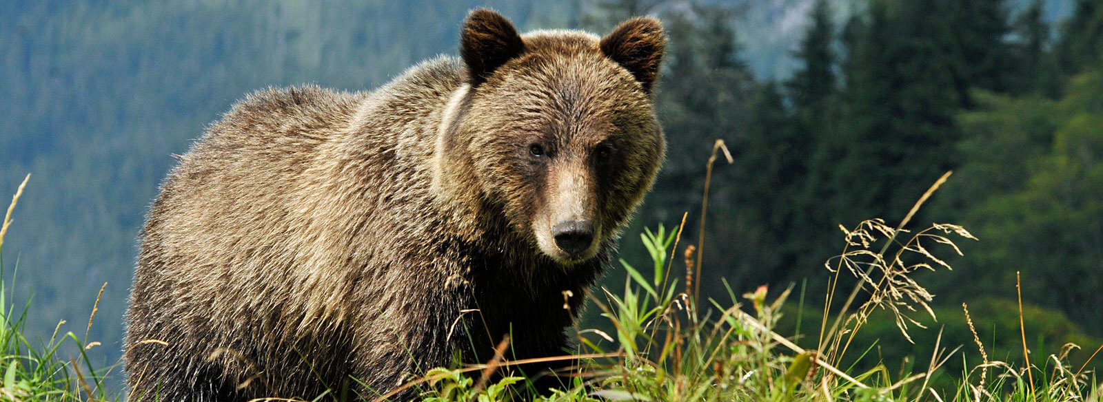 Brown Bear vs Grizzly Bear - Grizzly bear conservation