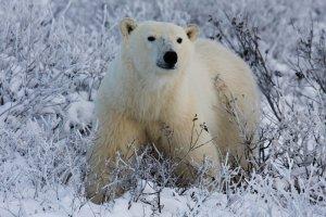 Polar bear in snow and vegetation