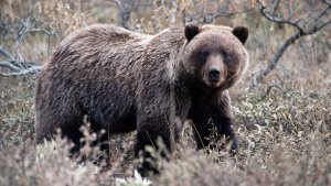 Fall Grizzly in Yellowstone -- photo by Tom Mangelsen