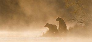 Grizzlies in fog