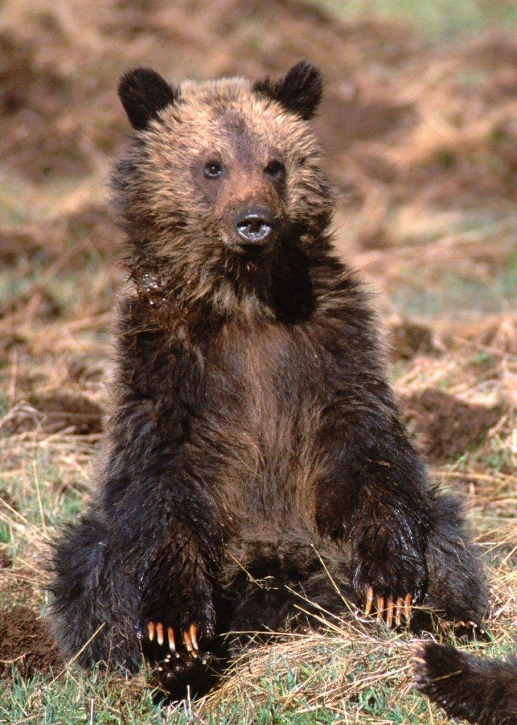 Sitting grizzly cub