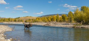 Bull Moose on river in fall