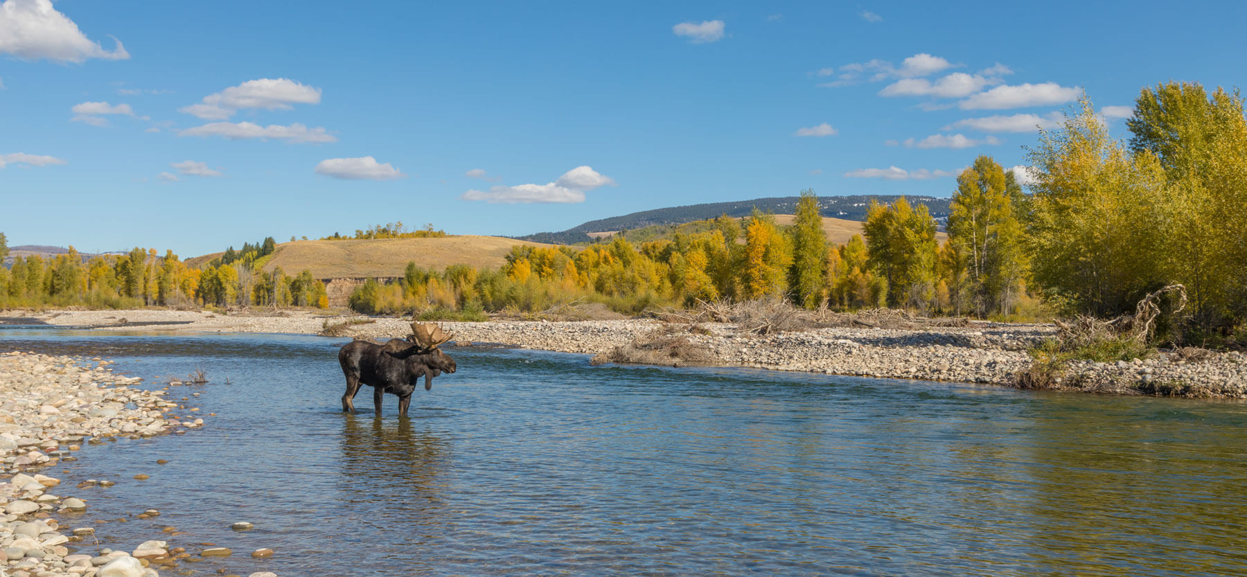 Bull Moose on river in fall