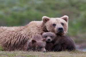 Mother grizzly with two cubs; Grizzly family