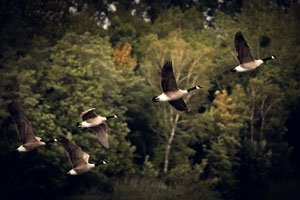 Birds flying across forest; Give monthly to Vital Ground