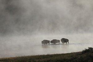 Beautiful foggy scene of buffalo in water