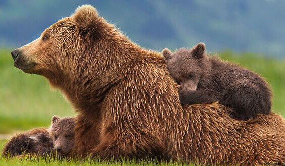 Mother grizzly with two young cubs in meadow; Shop Bear Mart