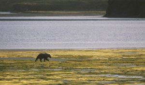 Grizzly bear walks across shore, Larry Aumiller photo