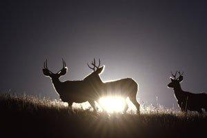 Mule deers in silhouette