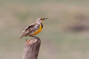 Bird on fence post in meadow; Join Vital Ground