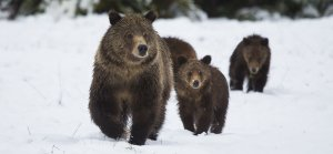 Winter Sow grizzly bear with three cubs in snow