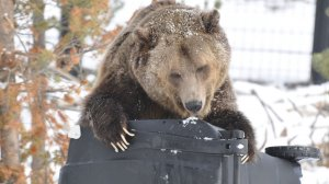Grizzly on bear-proof garbage container