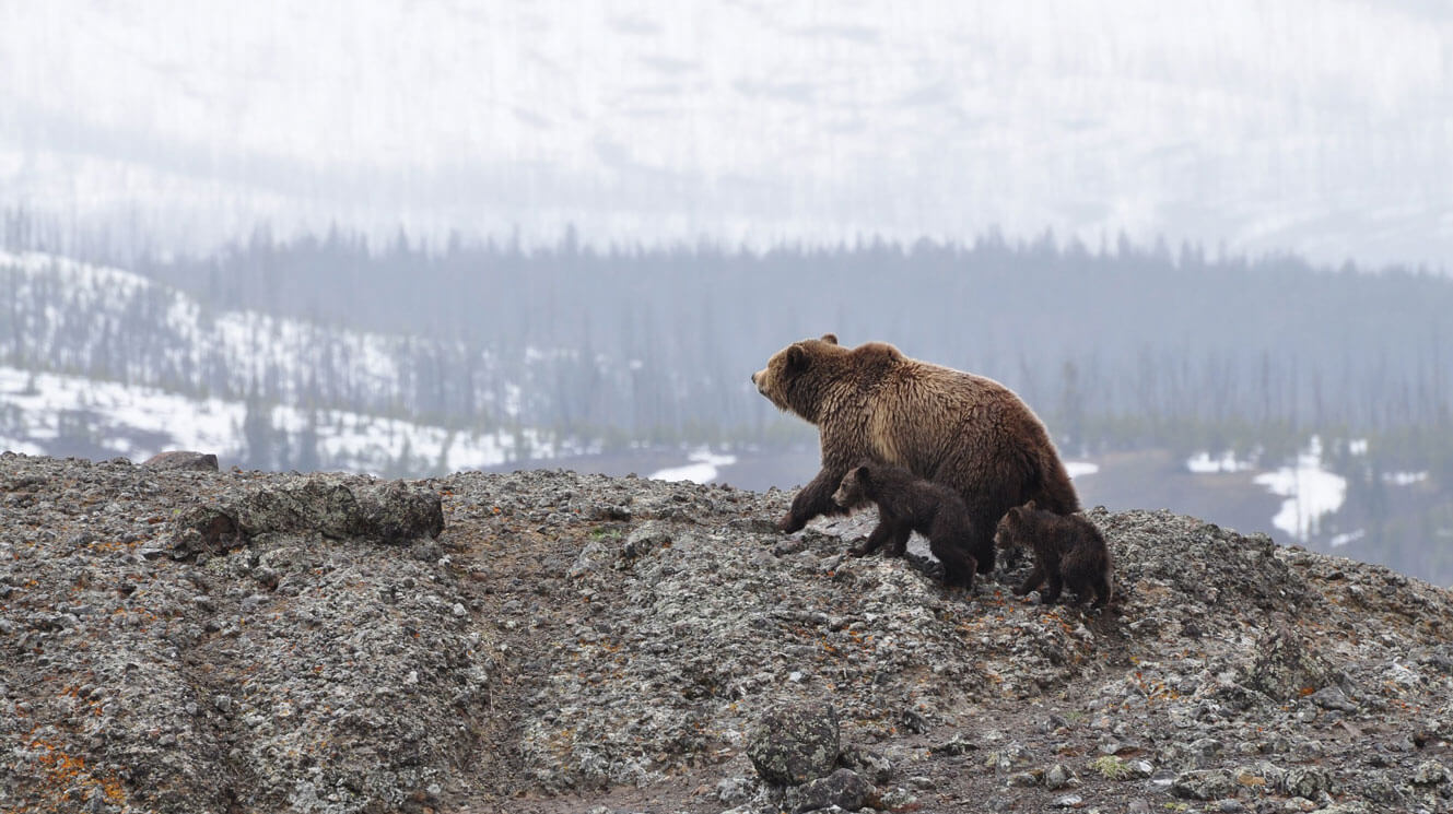 Grizzly bear and cub on snowy winter ridge