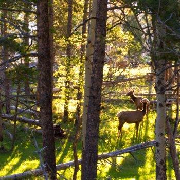Elk in spring habitat sunlit forest
