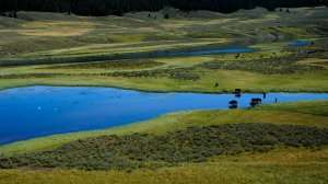 Tom Mangelsen photo of bison along river in Yellowstone National Park