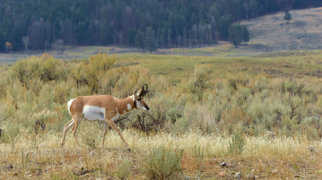Photo of male pronghorn antelope in sage brush