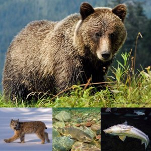 Collage of grizzly bear, Canada lynx, bull trout and white sturgeon