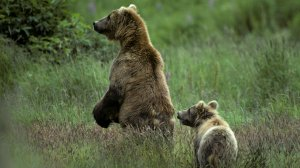Grizzly bear mother and cub in Glacier National Park