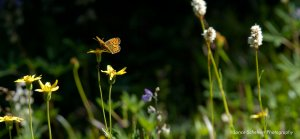 Monarch butterfly pollinating wildflowers shows the biodiversity benefits of Vital Ground's work to protect grizzly habitat