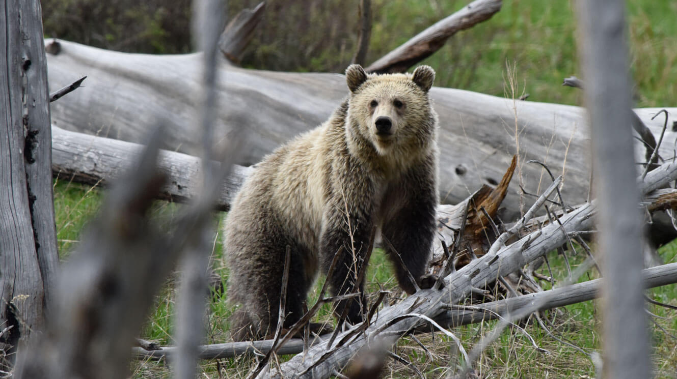 Grizzly Bear foraging in deadfall forest in Yellowstone National Park