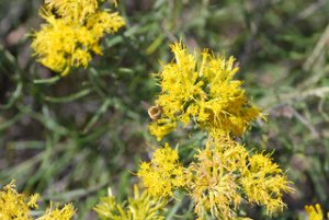 Pollinator on rabbitbrush in Central Montana