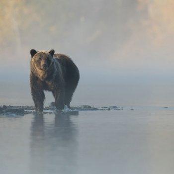 Grizzly bear on foggy beach