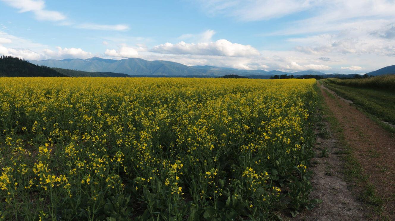Canola field on the Hubbard Farm
