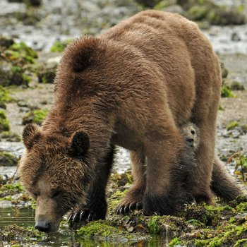 Coastal brown bear sow and cub
