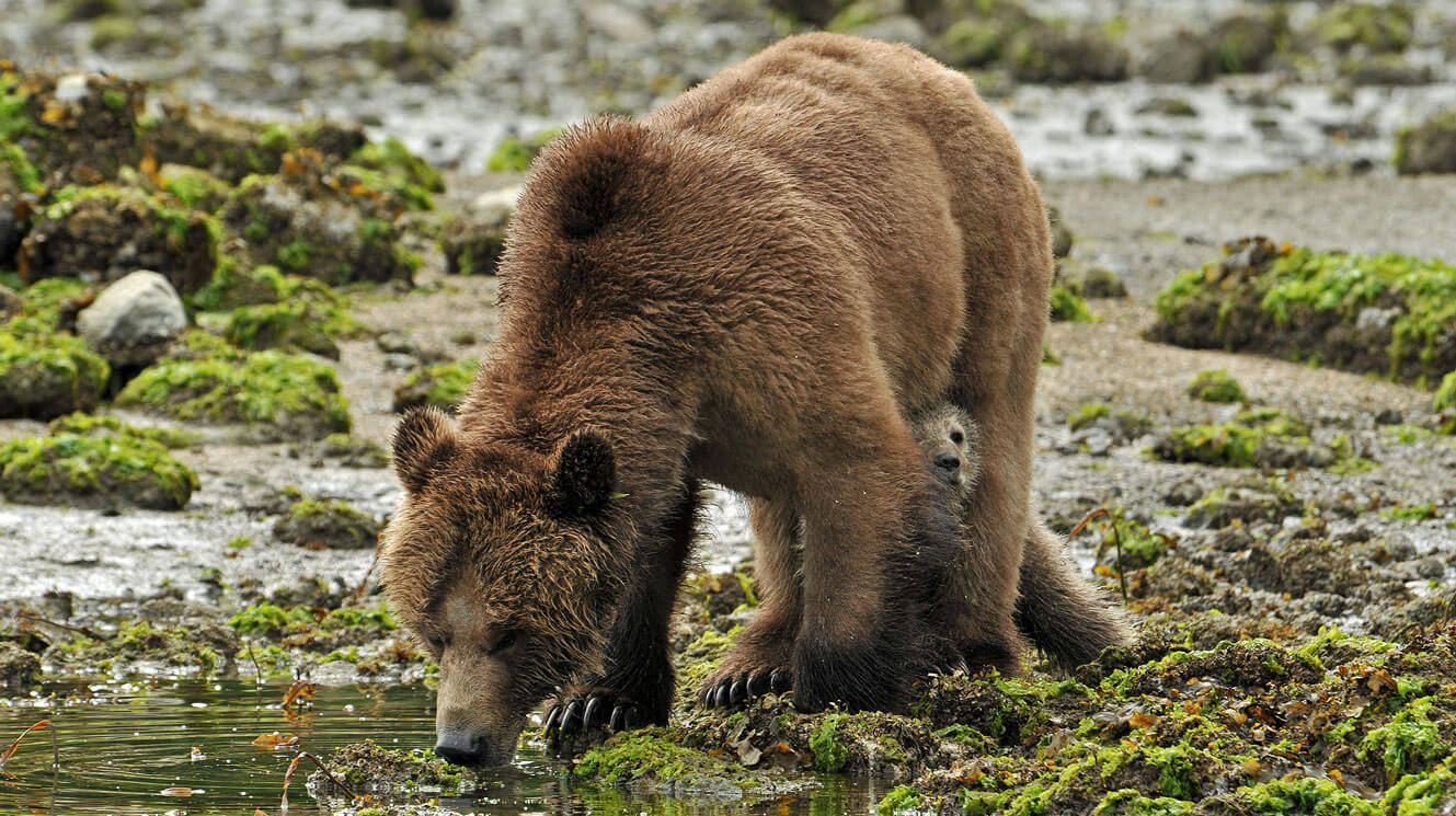Coastal brown bear sow and cub