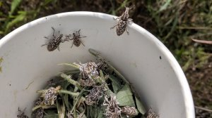 Root weevils at Vital Ground's Wild River Project