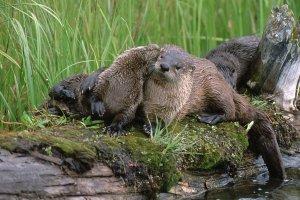 River otters cuddling