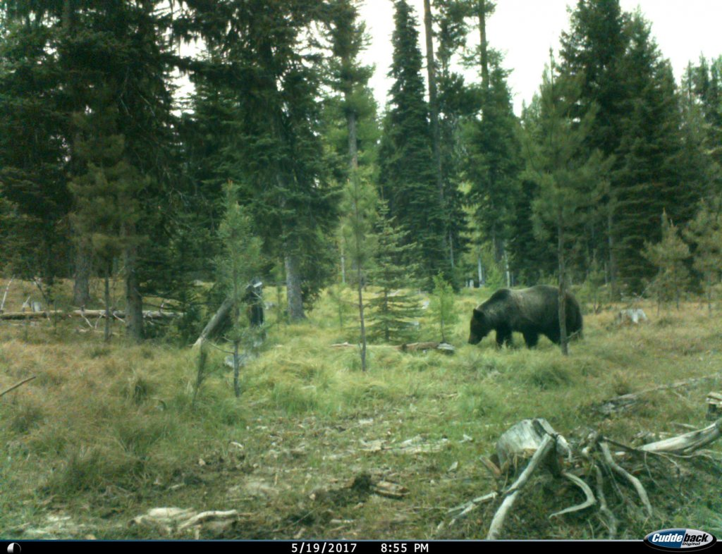 Grizzly bear foraging on Quinn Property