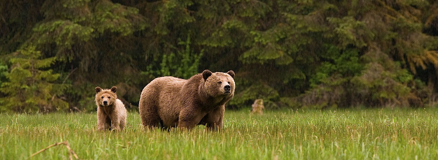 Grizzly sow and cub at Knight Inlet, B.C.