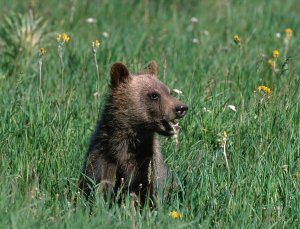 Grizzly bear cub chewing grass