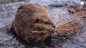 Beaver in stream