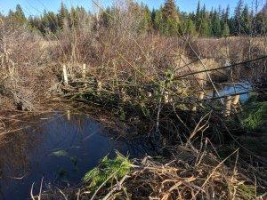 Beaver dam analogue at Bismark Meadows