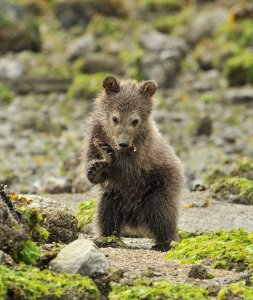 Grizzly cub standing on hind legs