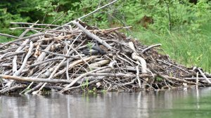 Beaver lodge with water snake
