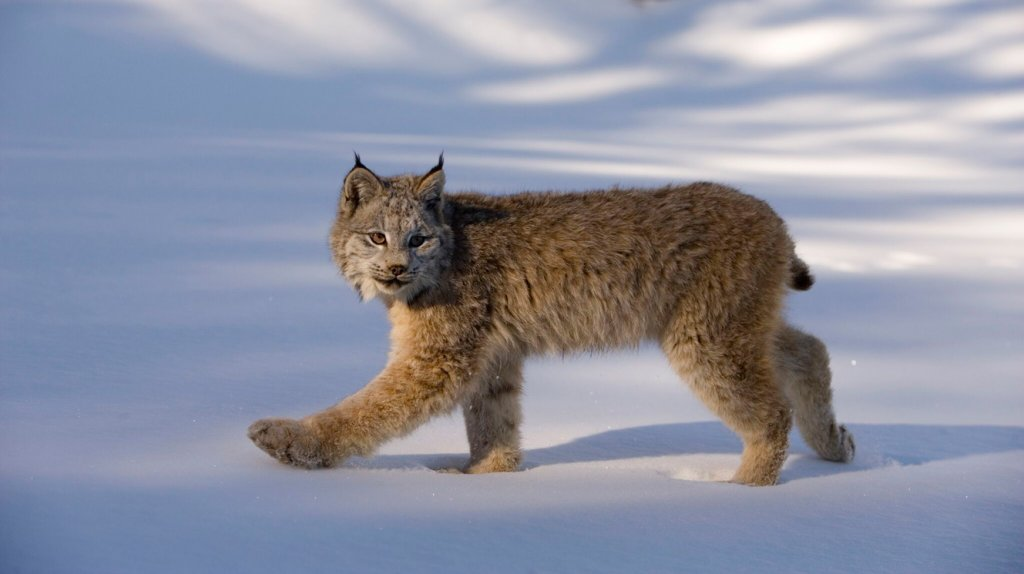 Canada lynx in deep snow
