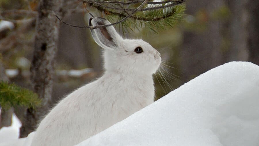 Snowshoe Hare by Lance Schelvan